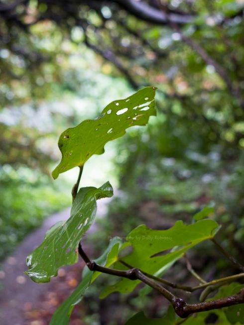 Kawakawa leaves with caterpillar holes